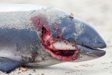 Horrific Bloody Wound Of Dead Porpoise. Stage Or Make-up Template Close-up But This Marine Animal Died In The Sea Of Plastic Pollution Poisoning.