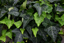 Close Up Hedera Helix Or Bindwood Or Lovestone, Green Ivy Background With Water Droplets