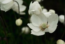 White Anemones In Garden