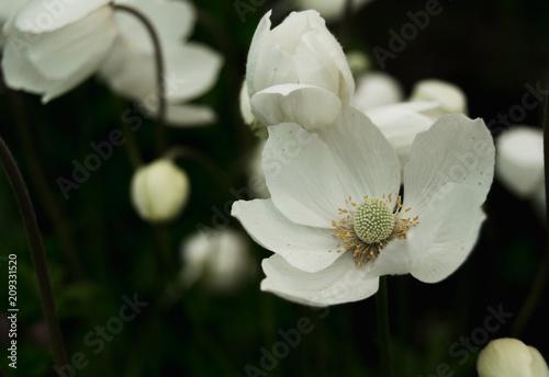 White anemones in garden Canvas Print