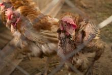 Unhealthy, Plucked Chicken Clo...