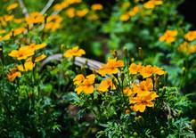 Marigolds (tagetis) In A Garden
