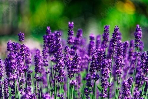 Obraz Lavender - fototapety do salonu