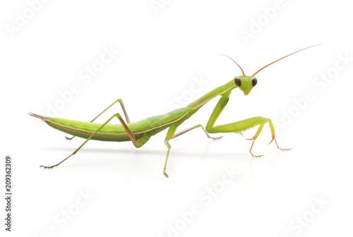 Large green mantis.