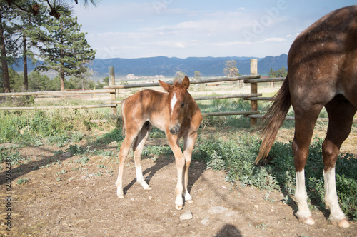 Chestnut Colt Standing in Colorado Ranch