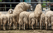 Many Sheep In The Farm.