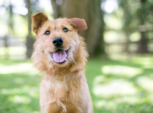 A Scruffy Brown Terrier Mixed ...