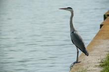 Portrait Of Heron Standing In ...
