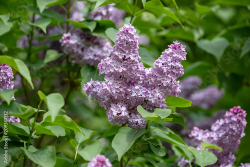 Spoed Foto op Canvas Lilac 薄紫色のライラックの花