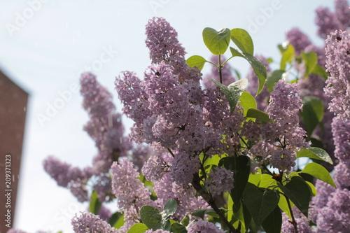Spoed Foto op Canvas Lilac lilac