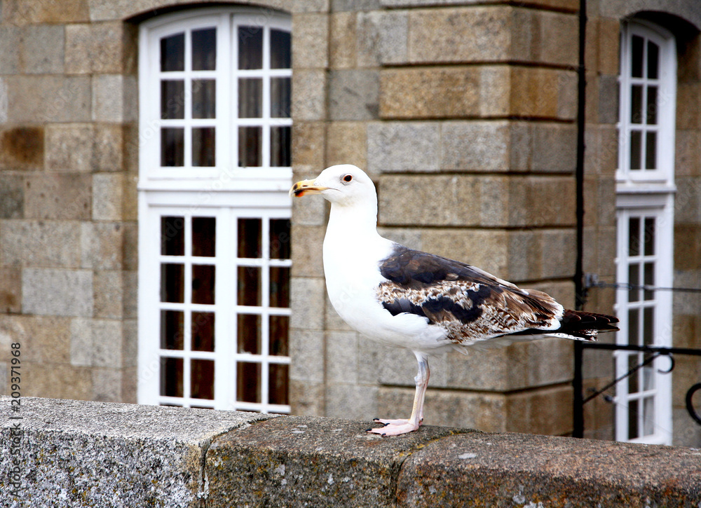 France. Brittany. Saint Malo. The seagull stands on the fortress wall against the background of Breton antique architecture on a summer day.