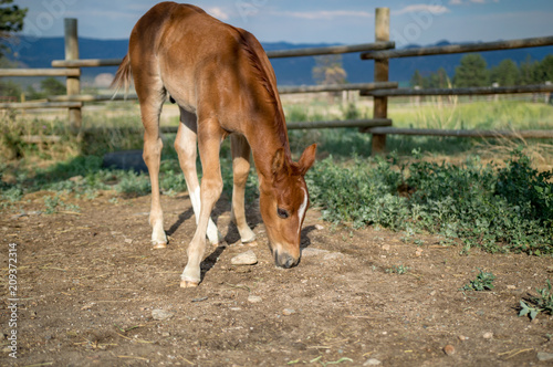 Chestnut Colt grazing in Front of Mountains and Fence