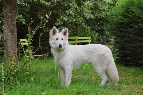 Fotografia jeune chien femelle berger blanc suisse dans jardin en été