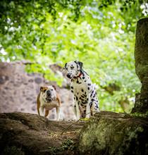 Dalmatian And Bulldog