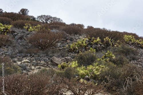 Foto  Broadleaf cacti and dry branches grow on rocky soil