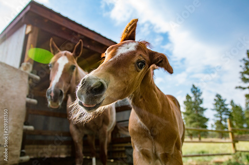 Fotografie, Obraz  Colt Shaking Head and Mother