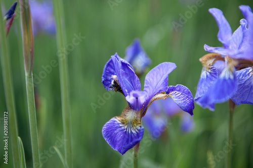 Spoed Foto op Canvas Iris irises flowers at field