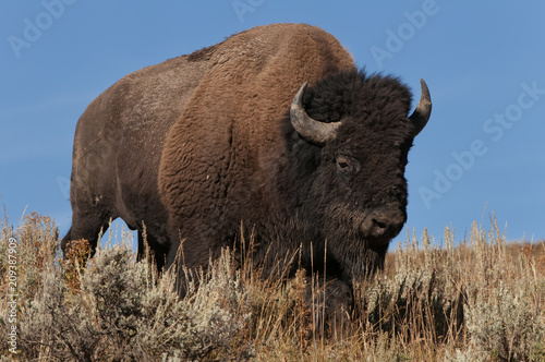Tuinposter Bison Lone bull bison coming over a hill; Yellowstone NP; Wyoming