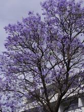 Jakaranda Mimozolistna.drzewo Z Niebieskimi Kwiatami