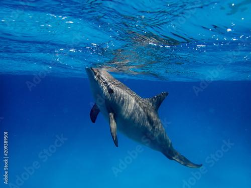 Fotografie, Obraz  Dolphin and a flock underwater