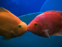 Two Kissing Goldfish In An Aqu...