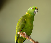 Yellow Naped Amazon Is Perched And Looking At You