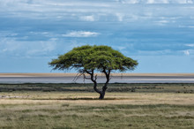 Single Camelthorn Acacia Tree