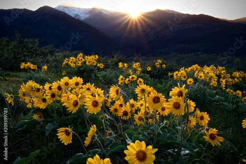 Arnica meadows at sunrise Canvas Print