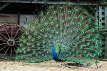 Peacock Reflecting Wagon Wheel Shape With His Tail Feathers Fanned Out