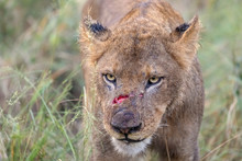 Lion With Fresh Wound From Fight