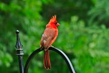 Northern Cardinal Or Redbird O...