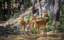 Three Deer Staring In The Zoo.