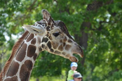 Head of a giraffe Poster