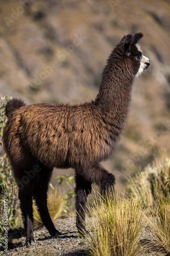 Staande foto Lama One single baby llama
