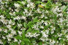 Trachelospermum Jasminoide (jasmin étoilé) Au Printemps