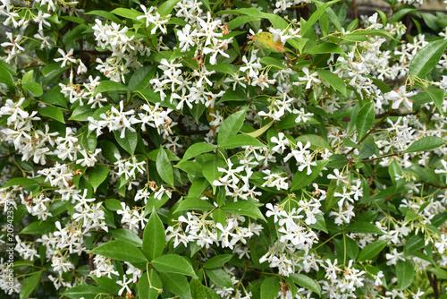 Photo  Trachelospermum jasminoide (jasmin étoilé) au printemps