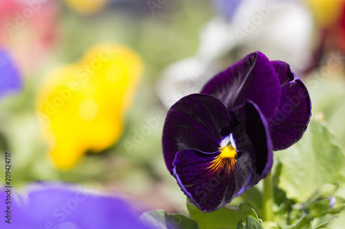Spoed Foto op Canvas Pansies Pansy with dark blue flower in a garden