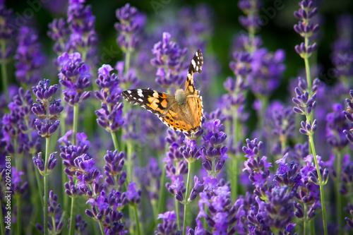 Montage in der Fensternische Lavendel papillon sur de la lavande