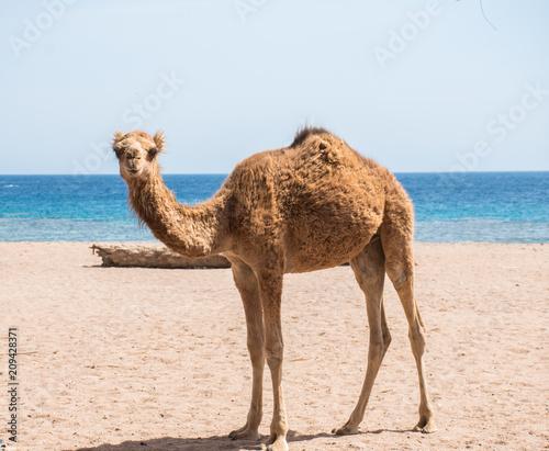 Deurstickers Kameel camel in sinai