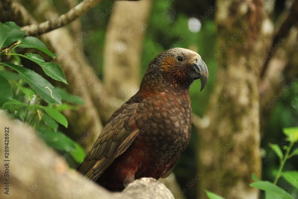 Parrot Kaka lives in New Zealand