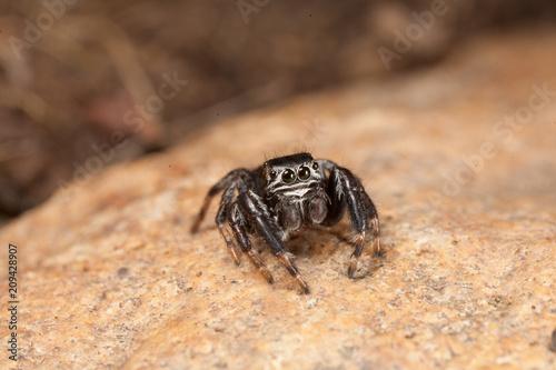 Fotobehang Macrofotografie Evarcha arcuata Jumping Spider Macro Shot in nature