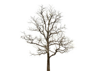 Deciduous Tree Isolated On Whi...
