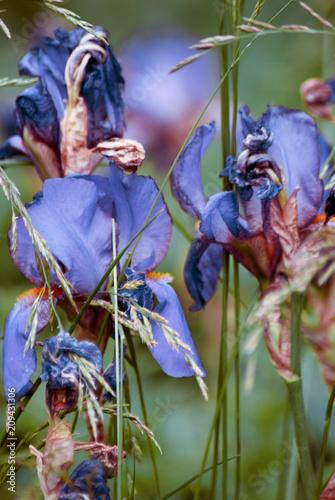 Spoed Foto op Canvas Iris Blue iris flower