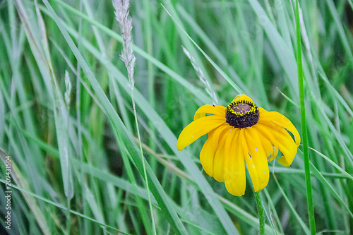 Fotografering  yellow flowers in a meadow