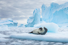 Crabeater Seal Resting On Pack...