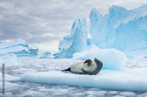 Crabeater seal resting on pack ice between icebergs, freezing sea, Antarctica