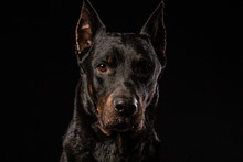 Beautiful Black Male Doberman ...