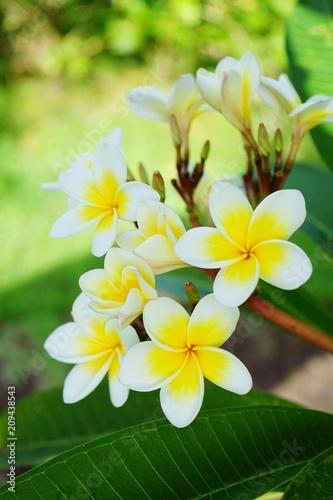 Papiers peints Narcisse Blooming plumeria flower, pagoda tree