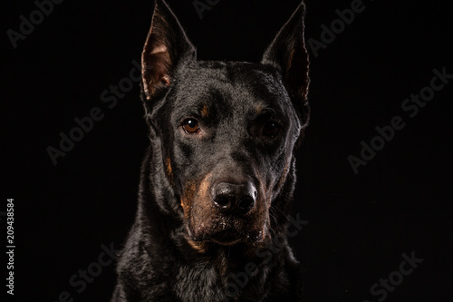 Fotografia beautiful black male doberman dog on black background
