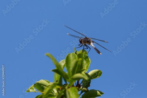 lilypad whiteface (leucorrhinia caudalis) dragonfly sitting on green leaves